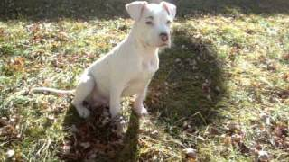 White American Pitbull Terrier 2011