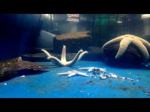 Sea Star Turning Over And Hermit Crab Almost Getting Eaten Time Lapse