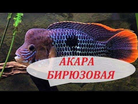 Акара Бирюзовая. Содержание, совместимость, разведение в аквариуме.