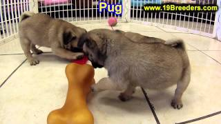 Pug, Puppies, For, Sale, In, South Bend, Indiana, County, In, Allen, Hamilton, St  Joseph, Vanderbur