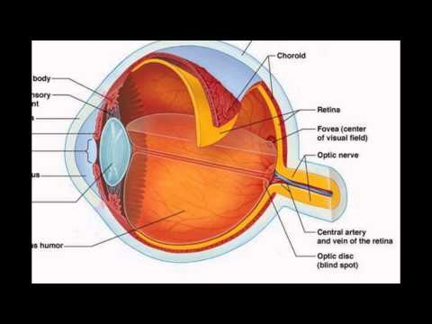 Human Eye Parts And Function - YouTube