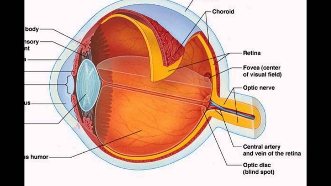 Parts Of The Eye Diagram And Function Wiring A Switched Outlet Human Youtube