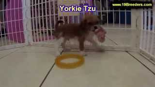 Yorkie Tzu, Puppies, For, Sale, in, Mobile, County, Alabama, AL, Huntsville, Morgan, Calhoun, Etowah