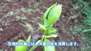 柿の育て方