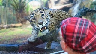 Jaguar Plays with Two-Year-Old