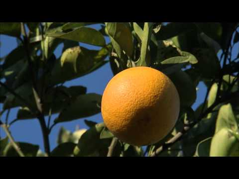 Oranges - Growing