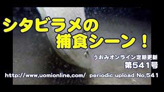 遂にシタビラメの捕食シーンをゲット!!【水中動画の定期更新No.541】