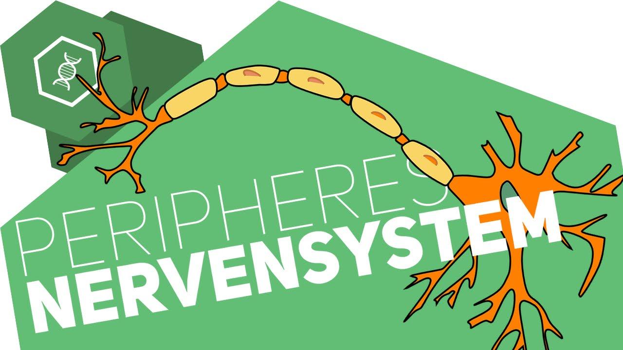 Peripheres Nervensystem einfach erklärt ○ Gehe auf SIMPLECLUB.DE/GO ...