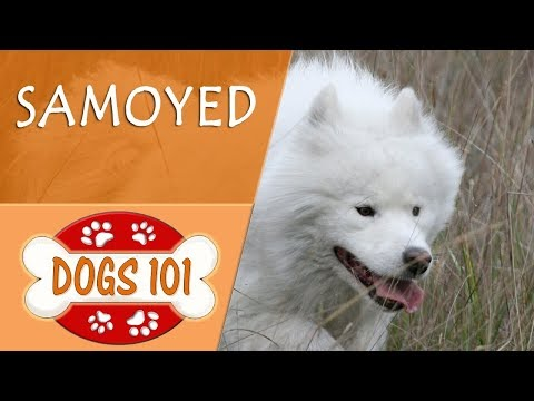 Dogs 101 - SAMOYED - Top Dog Facts About the SAMOYED