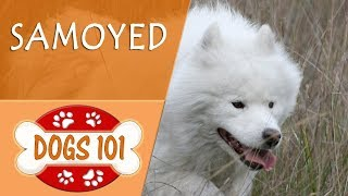Dogs 101  SAMOYED  Top Dog Facts About the SAMOYED