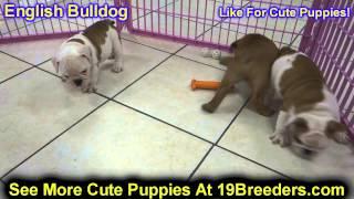 English Bulldog, Puppies, For, Sale, In,omaha ,nebraska, Ne,lincoln, Bellevue, Grand Island