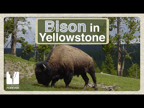 Discover Yellowstone: Bison in Yellowstone