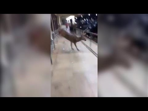 Deer Makes Dramatic Exit From American Eagle Store