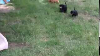 Cavalier King Charles Mix Puppies For Sale