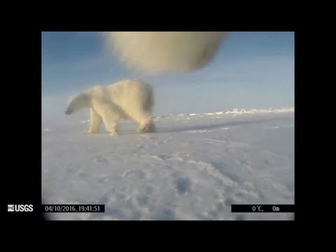 New study lets scientists see what polar bears see