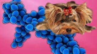 Пиодермия у собак | Симптомы | Лечение | Профилактика.(Пиодермия у собак заболевание кожного покрова. Возбудителем пиодермии выступают бактерии стафилококка...., 2016-01-11T05:32:30.000Z)