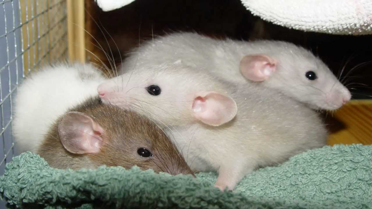 Cute baby rats - photo#11