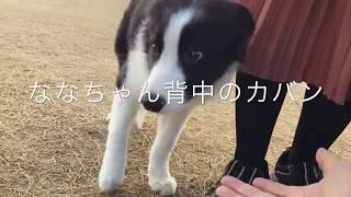 ココちゃん五カ月のボーダーコリーの仔犬 前回UPさせてから一週間~ドッ...