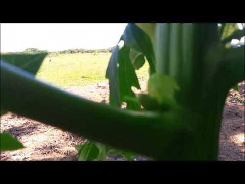 Papaya: Hermaphrodite