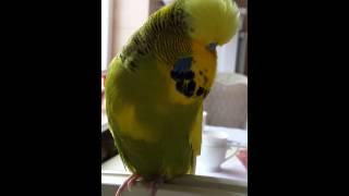Выставочный волнистый попугай Гоша  (2)