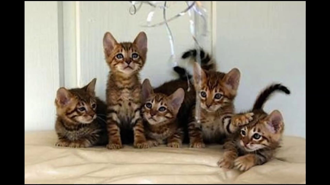 Cat Breed Bengal Stripes