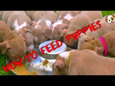 How to feed puppies 🐶‼️ (MUST WATCH) American bully especially