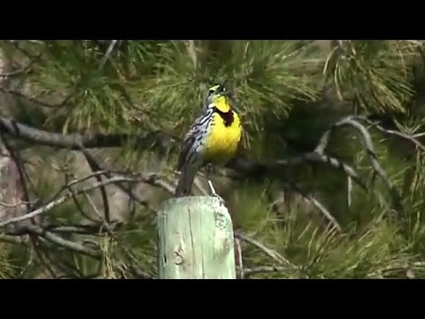 Song of the Western Meadowlark (Sturnella neglecta)