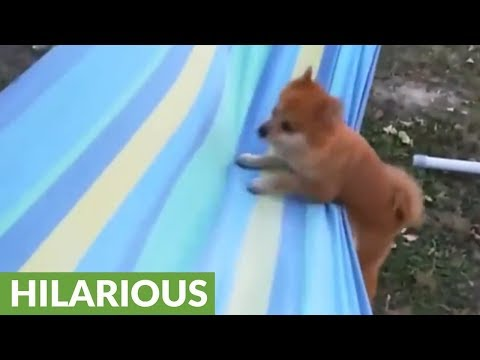 Dog humorously struggles to relax on hammock
