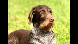 Дратхаар - собака мечты!
