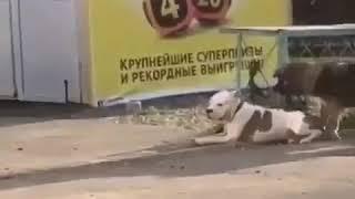 Новороссийск. Бездомная собака спасает породистую.