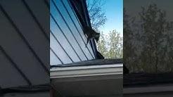 Cincinnati, Ohio, HouseMan Willie raccoon problem, eviction notice served!!!