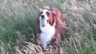 Jasper running in long grass at west wayland