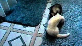 Two wild ferrets!!