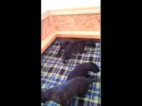 Deerhound puppies 2 weeks old