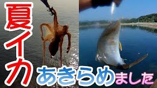 夏アオリイカあきらめました【猛暑】今年初ネリゴ(カンパチ幼魚)がキター!