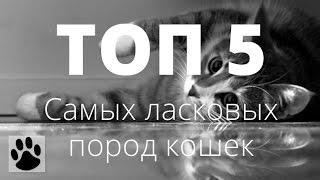 ТОП 10 самых ласковых пород кошек