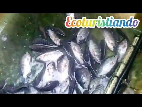 Produce Tu Tilapia En Tu Patio (en Estanque De 1000 Litro)