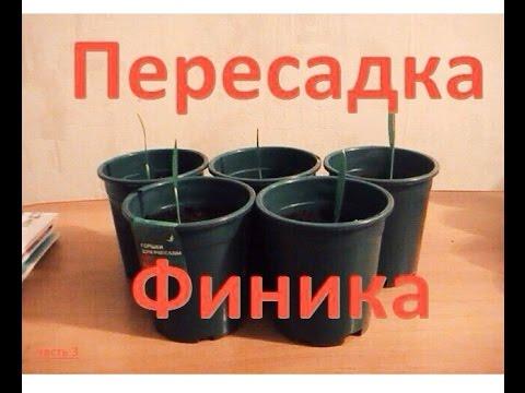Финиковая Пальма ПЕРЕСАДКА ростков В ГОРШКИ часть 3