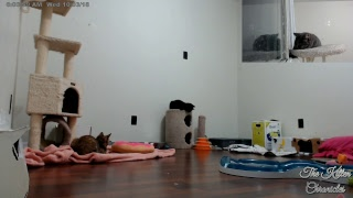 critter room live stream foster kitten cams 13666