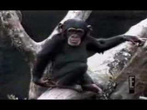 Mono que cae se huele el dedo y se cae del árbol