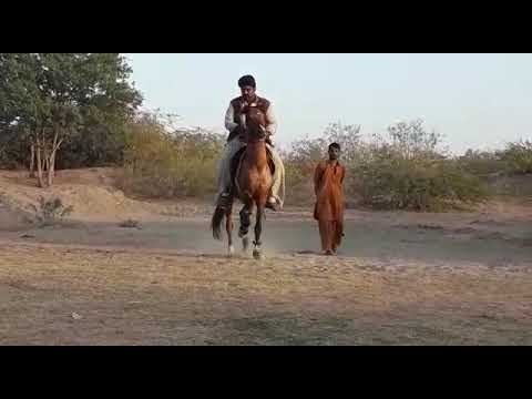 Horse name DulDul owned by Ammar Ahmed