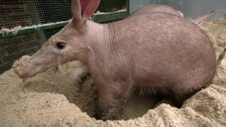 Introducing our Aardvarks YouTube Videos