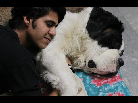 My St. BERNARD INFECTION EXPLAINED| Final Update | Wildly Indian