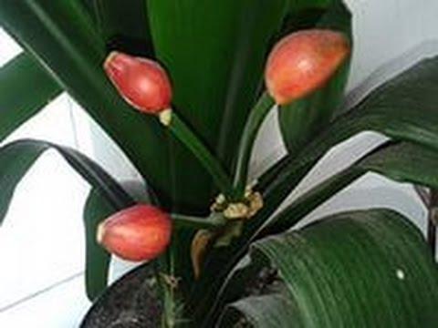 Хобби.Размножение Кливии семенами.