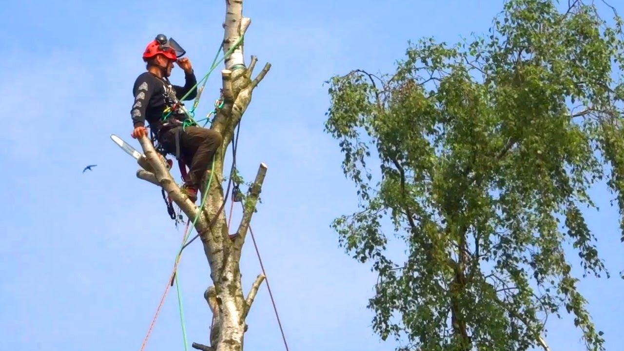 Kletterausrüstung Baum Fällen : Klettermann klettert mit motorsäge in baum und zerstückelt ihn