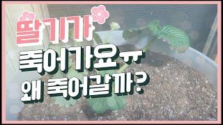 |도움|실내에서 키운 딸기가 아프요ㅠㅠ |홈가드닝| […
