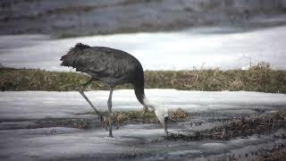信州にナベヅル飛来。この地域では珍鳥なんです。(4K)