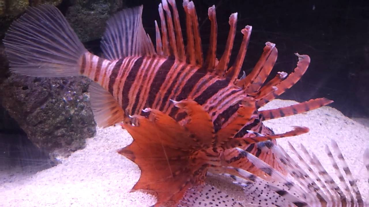 Red Fin Russells Lionfish has a deep coloration today. - YouTube