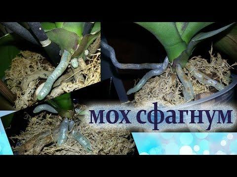 Как отрастить корни орхидее с помощью МХА СФАГНУМА