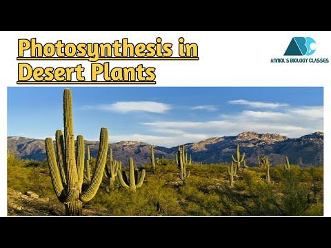 Photosynthesis In Desert Plants